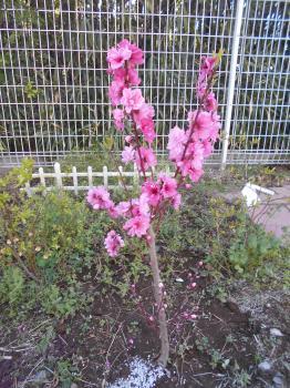 『花桃①』の画像