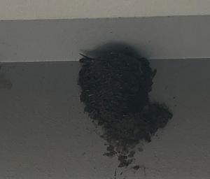 『ツバメの巣』の画像